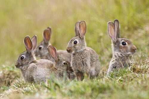 Some rabbits playing in a field.