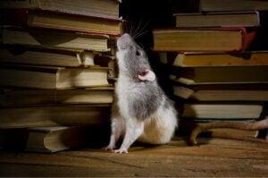 A rat among books.