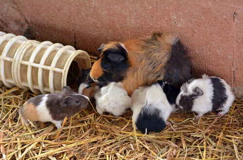 Guinea pigs: mother and offspring.