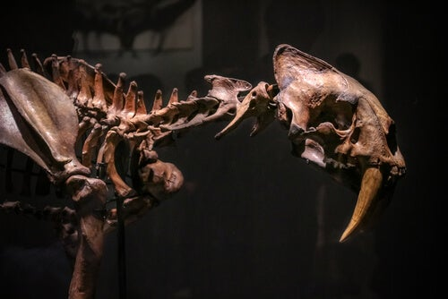 The saber-toothed cat is now extinct.