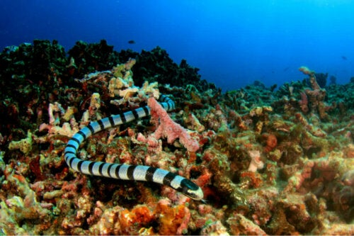 Classification of Sea Snakes