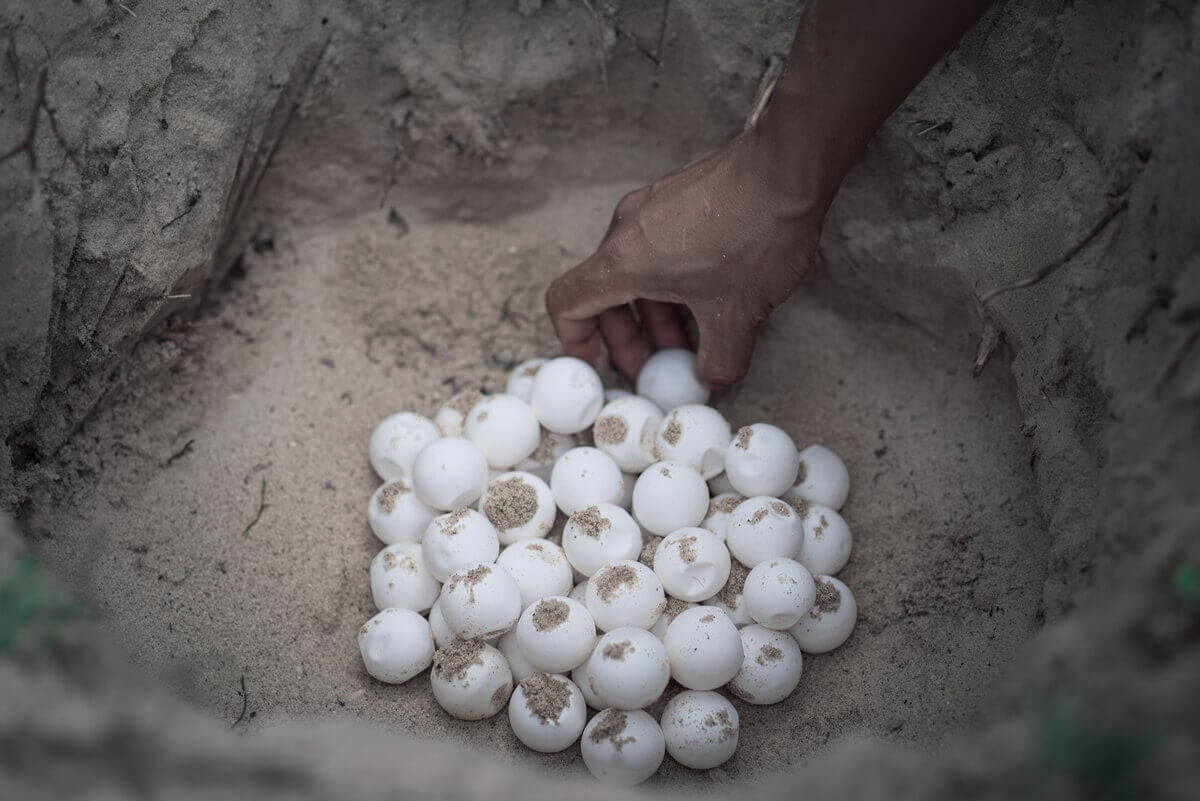 Buried sea turtle eggs.