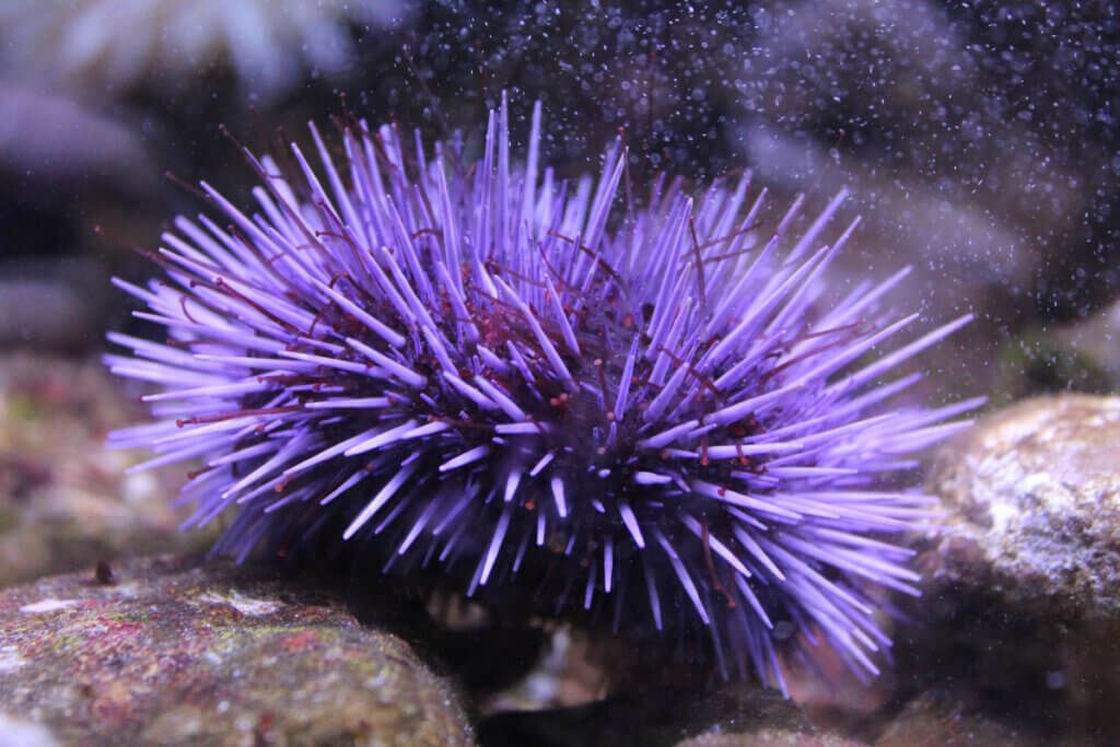 Discover 5 Interesting Facts About Sea Urchins