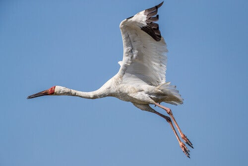 Siberian crane flying.