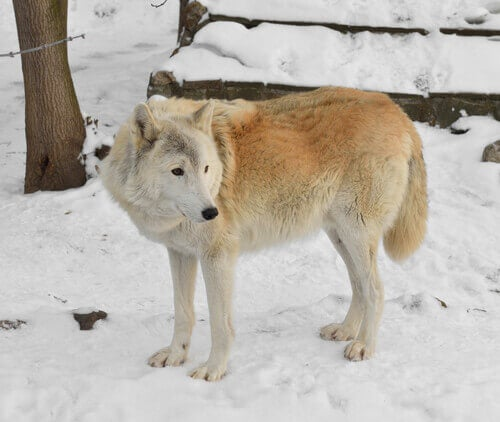 Lonely tundra wolf.