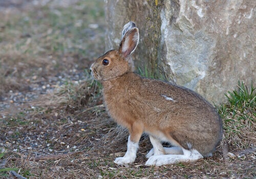 The snowshoe hare: a species of hare found in North America.