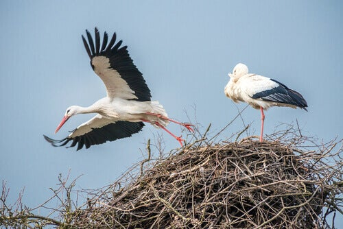 Two storks building a nest.