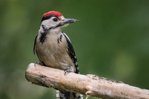 Interesting Facts About Woodpeckers