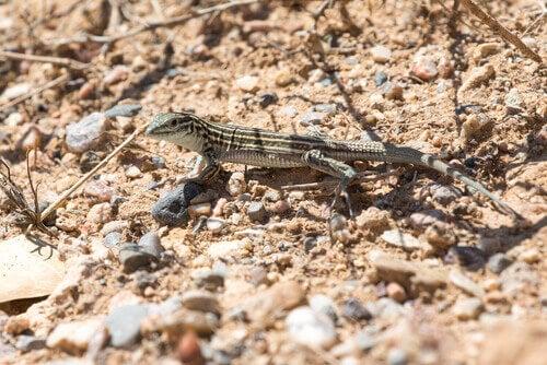 Whiptail lizard: parthenogenesis.