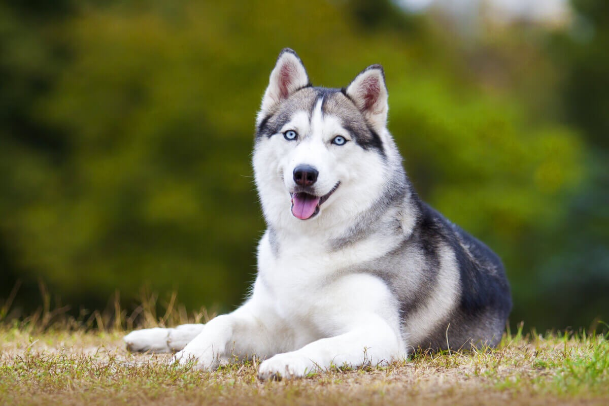 A Siberian Husky laying in the grass.