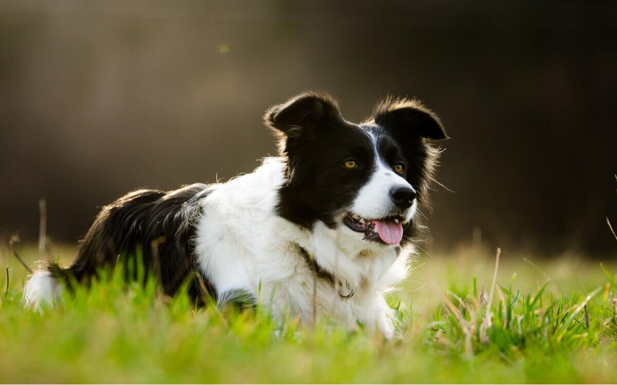An anxious dog breed.