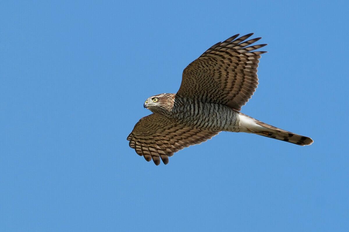 A Eurasian Sparrowhawk soaring accross a blue sky.