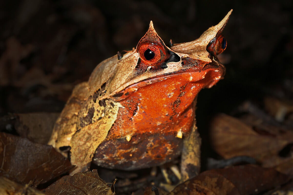 A long-nosed horned frog of Asia.