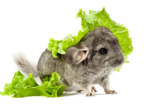 A rodent covered in lettuce.