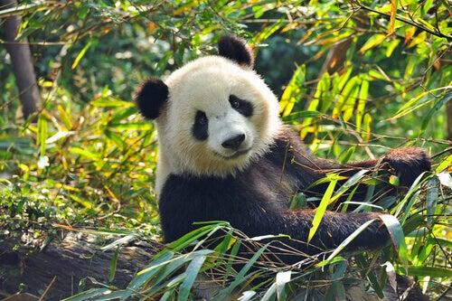 A smily panda.