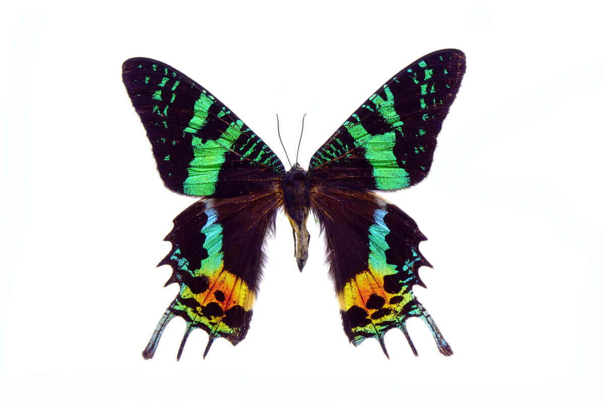 A sunset moth from Madagascar.