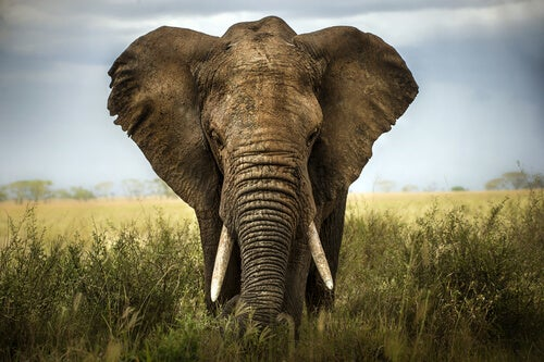An African elephant with ears flared.