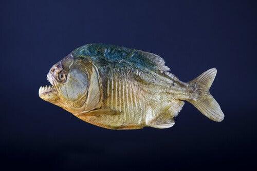 A piranha.