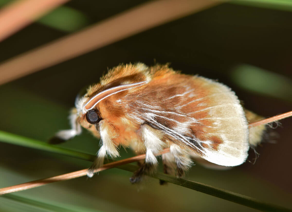 A closeup photo of a southern flannel moth.