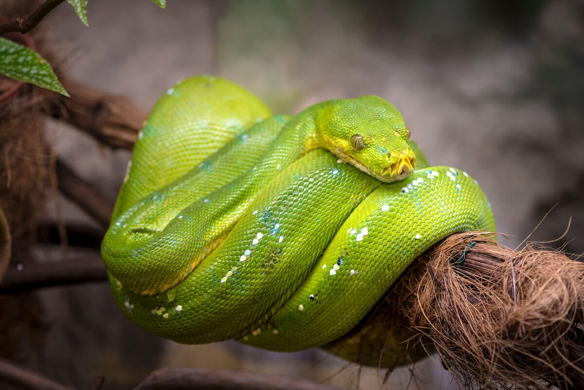 A green snake wrapped around a branch.