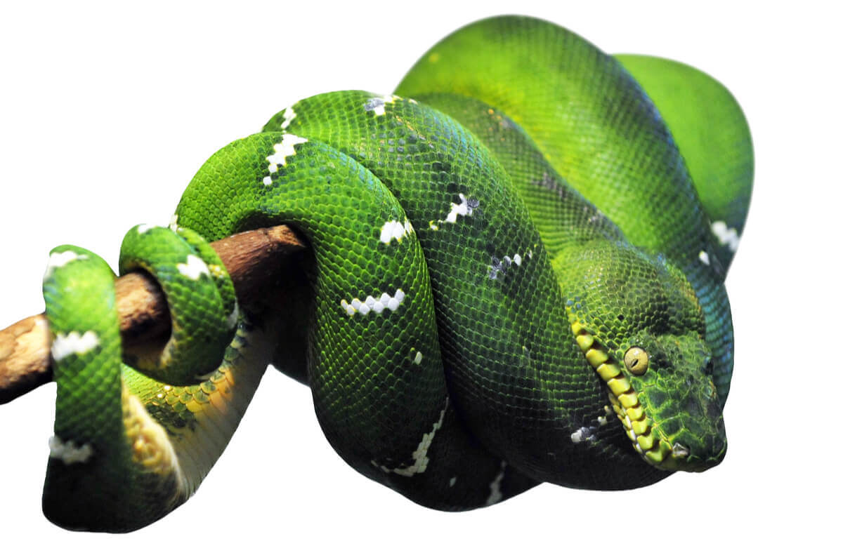 An emerald tree boa wrapped around a branch.