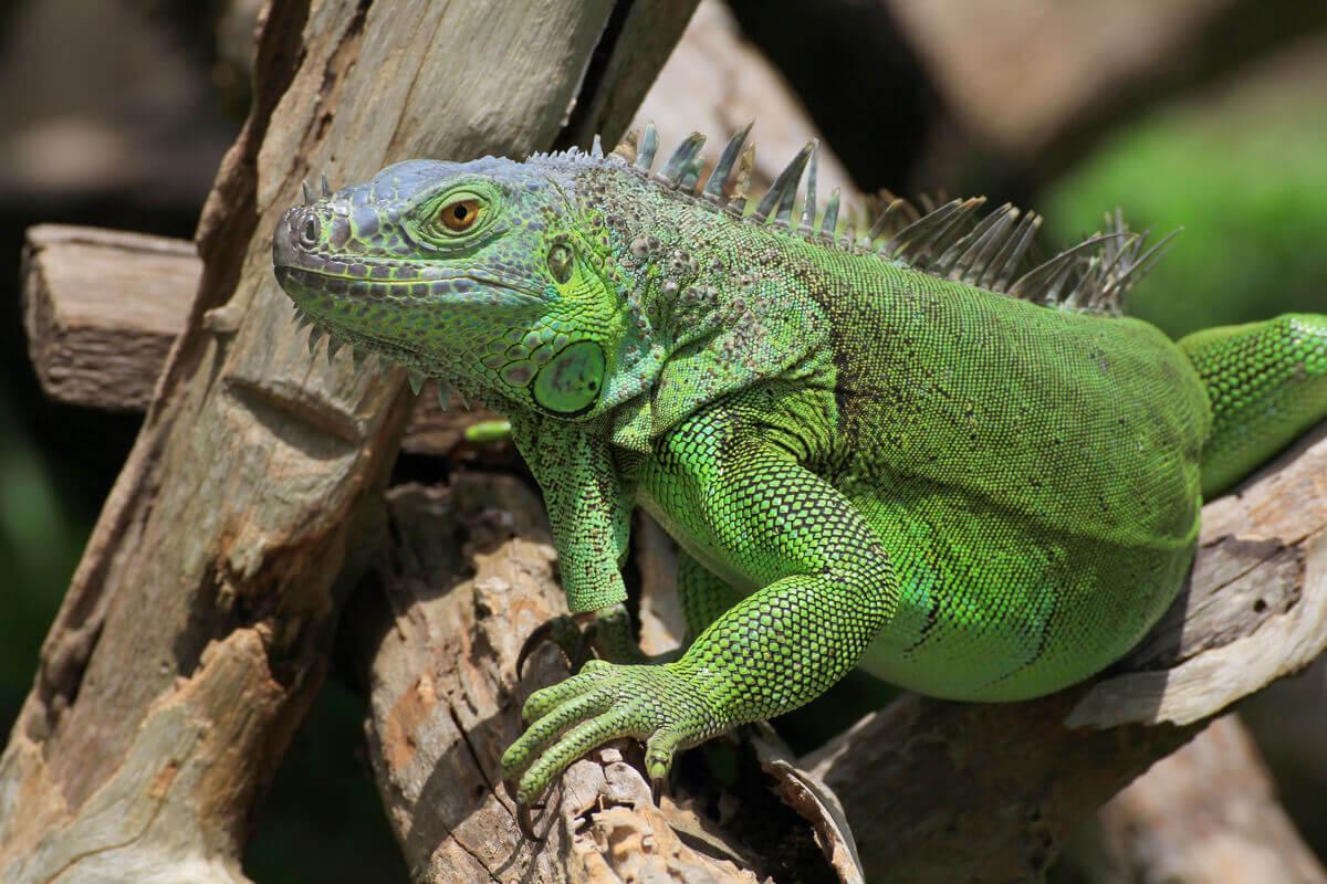 An iguana climbing on branches.