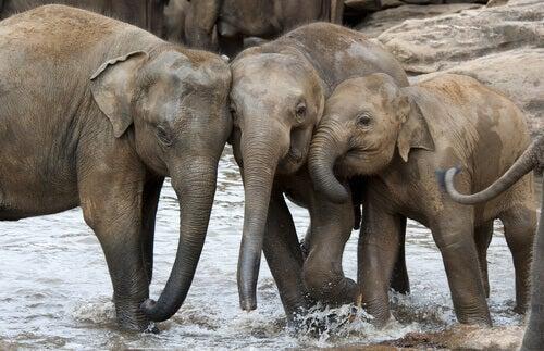 Asian elephants play in a stream.