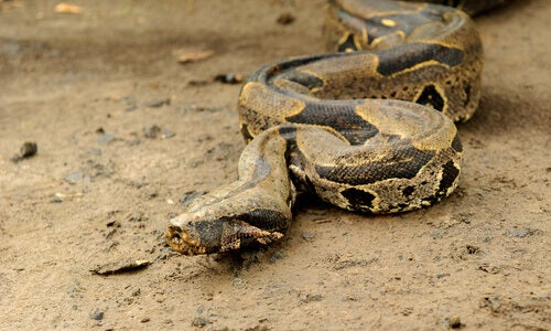 A boa constrictor slithering accross the dirt.