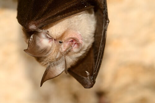 A canary big-eared bat hanging upside down.