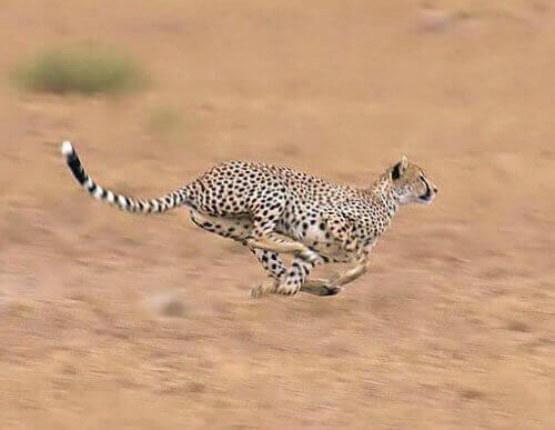 A cheetah running at full speed.