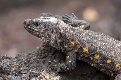 An El Hierro giant lizard on a rock.