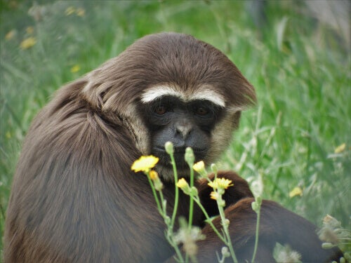 A brown gibbon with while eyebrows and a black face sitting on the grass behind yellow flowers.