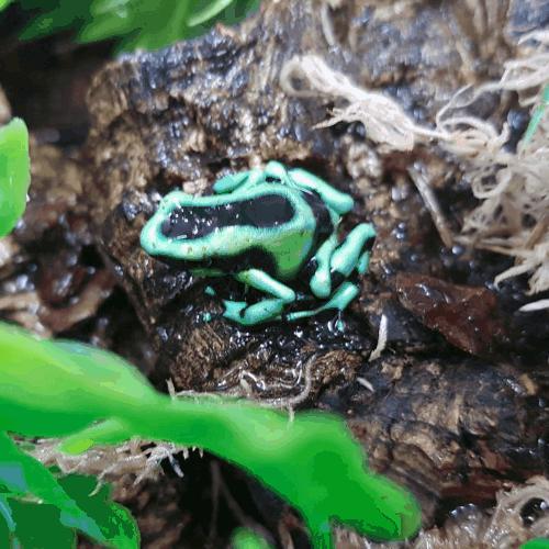 A greenish poison dart frog.