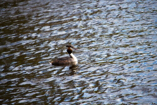 A grebe swimming on the water.
