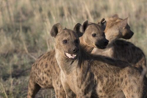 Three adult hyenas.