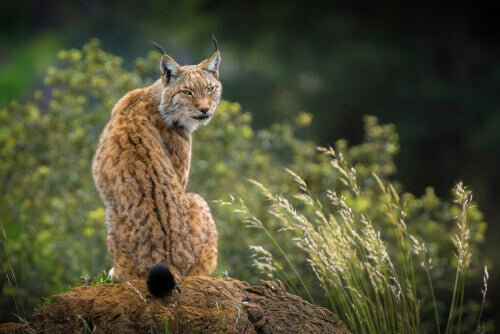 A lynx looking over its shoulder while sitting on a large rock.