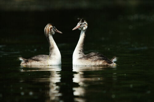 Two grebes floating on water in the dark, looking at one another.