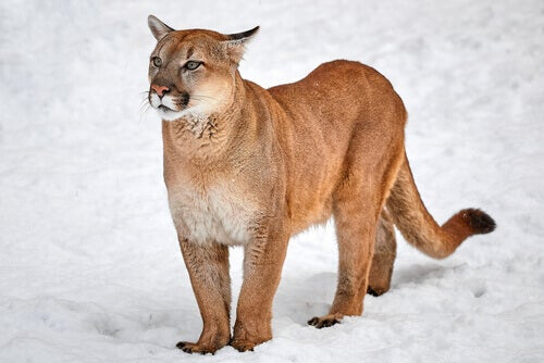 A cougar walking in the snow.