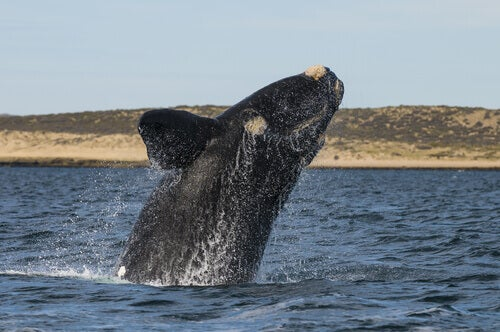 A southern white whale jumping out of the water.