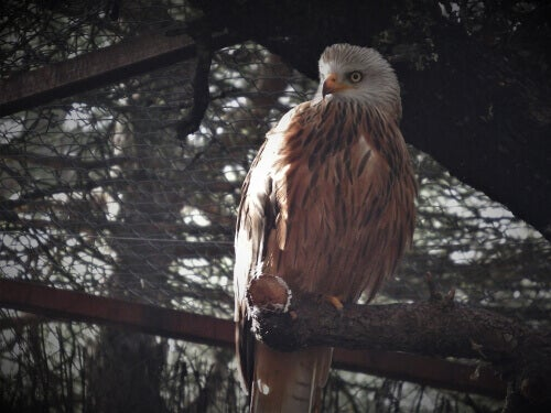 A red kite perched on a tree branch.