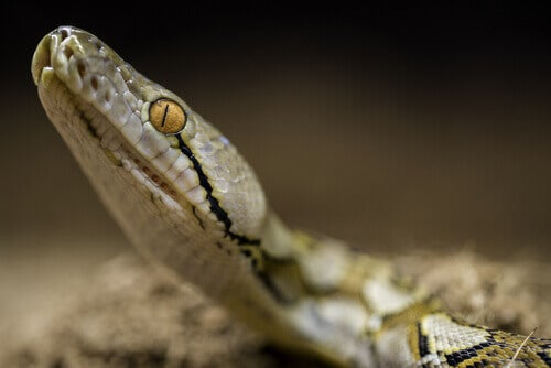The head of a reticulated python.