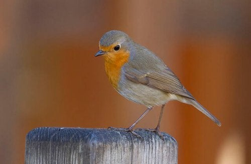 A robin perched on a fence post.