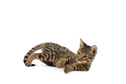 A serengueti kitten looking playful.