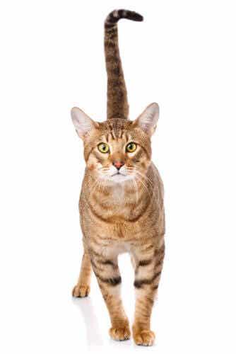 The Wild-looking Serengeti Cat