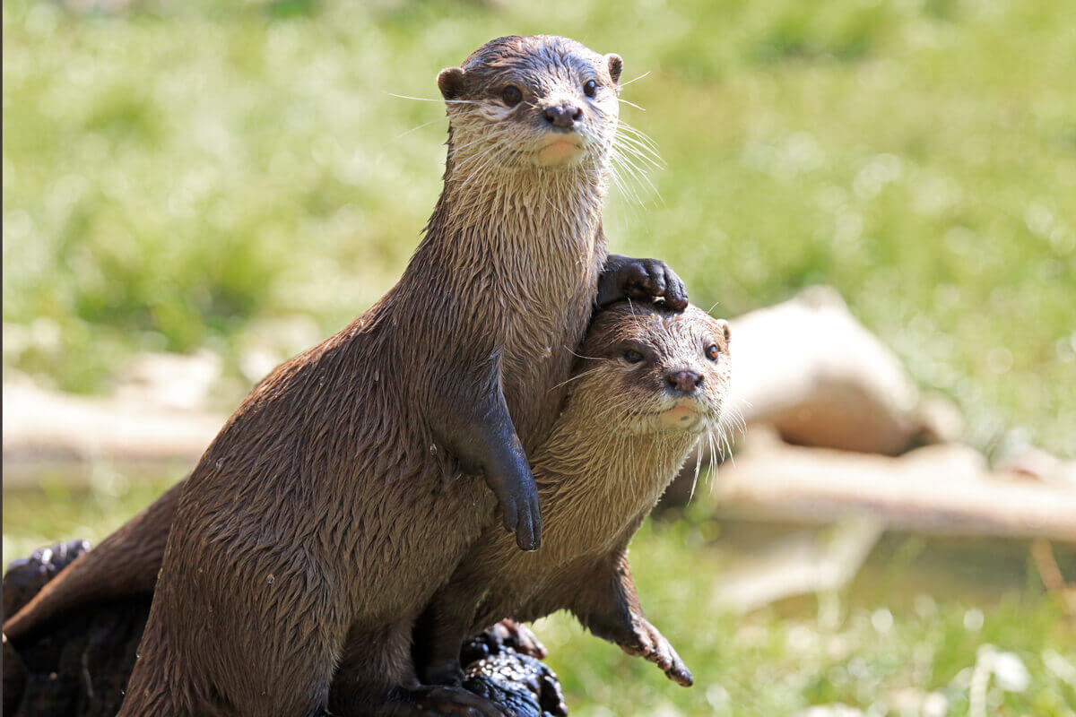 One otter leaning on another.