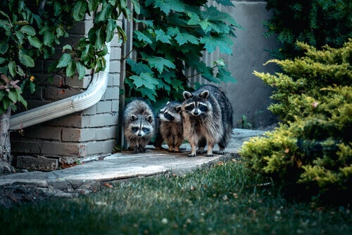 Three racoons creaping around a house at night.