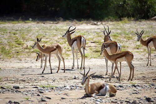 A group of gazelles.