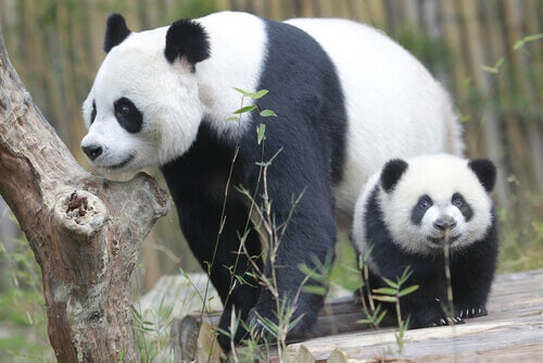 Two pandas in a reserve.