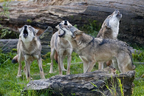 A pack of wolves howling.