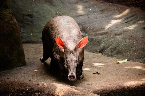 An aardvark looks for food.